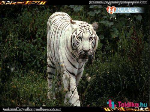 társkereső tigris ki randevúz, aki bollywood 2013-ban